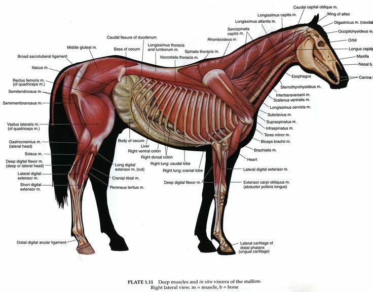 Horse Side | vet med 。 | Pinterest