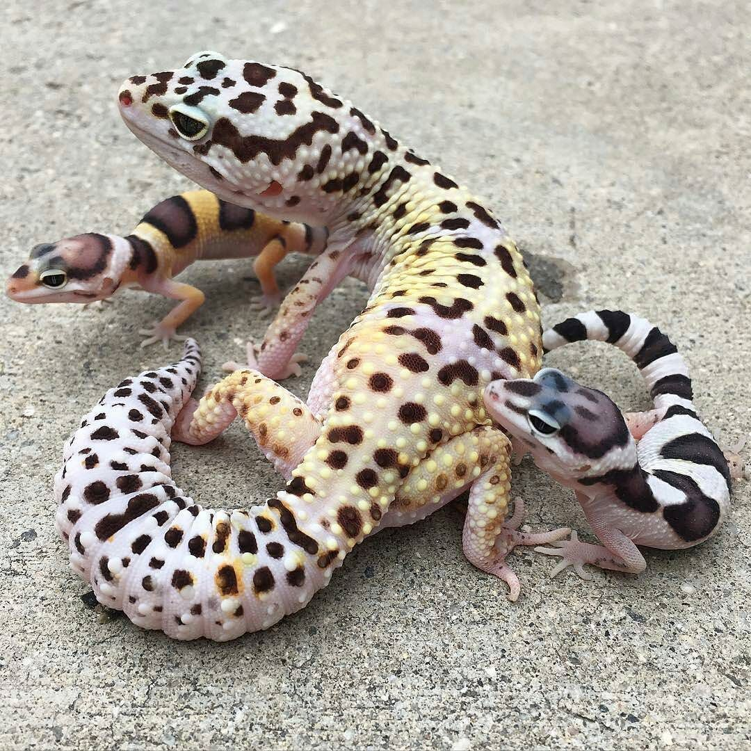 Charming idea Pics of adult leopard geckos topic Excuse