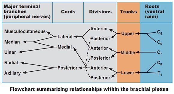 Flowchart Showing Traditional Organization Of Brachial Plexus Of