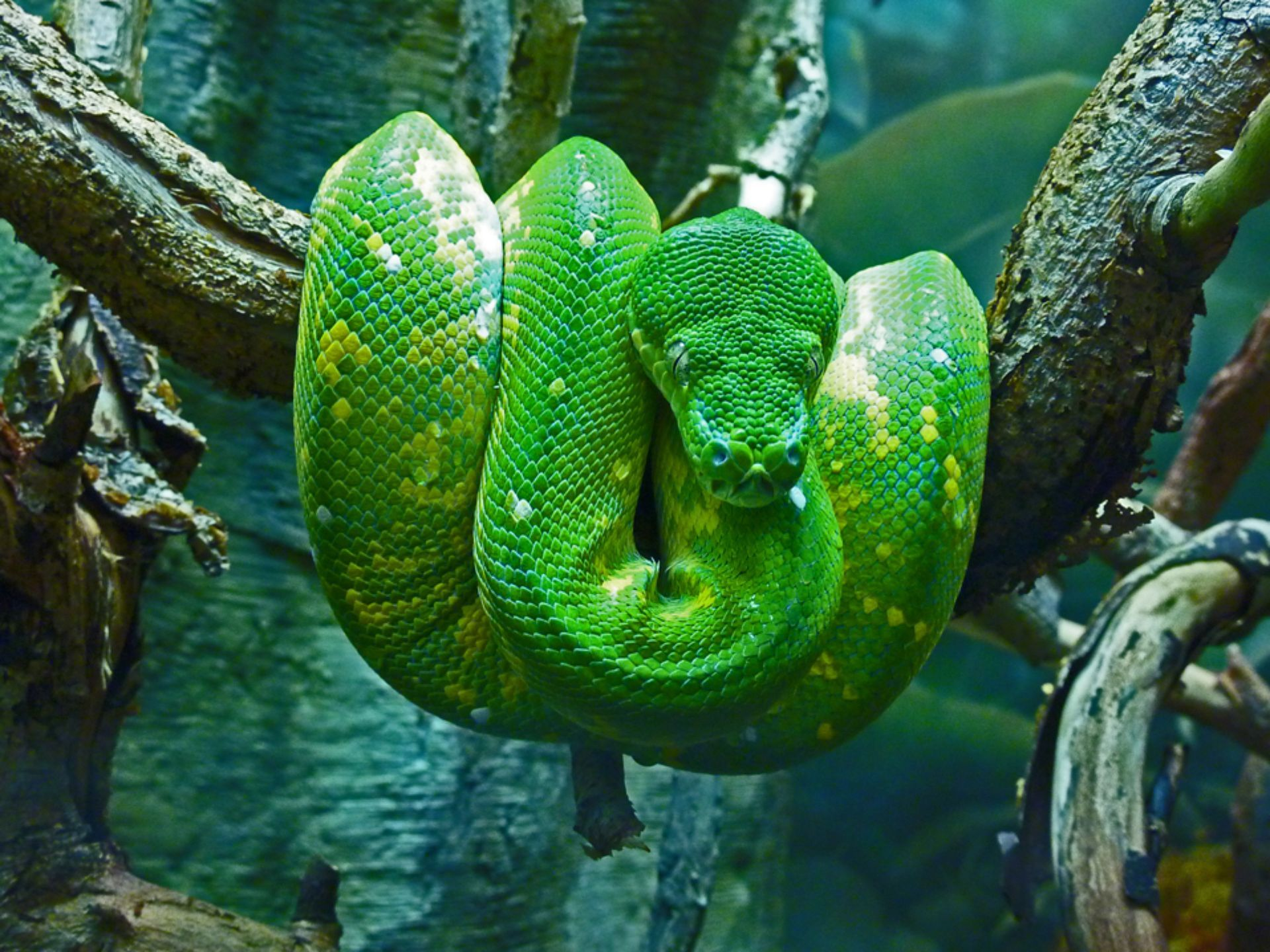 Emerald Tree Boa at the RainForest Exhibit at the Cleveland ...