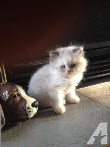 Gorgeous Hot Blue Cream Bi Color Rag Doll Kitten Cats Kittens Kittens Cats