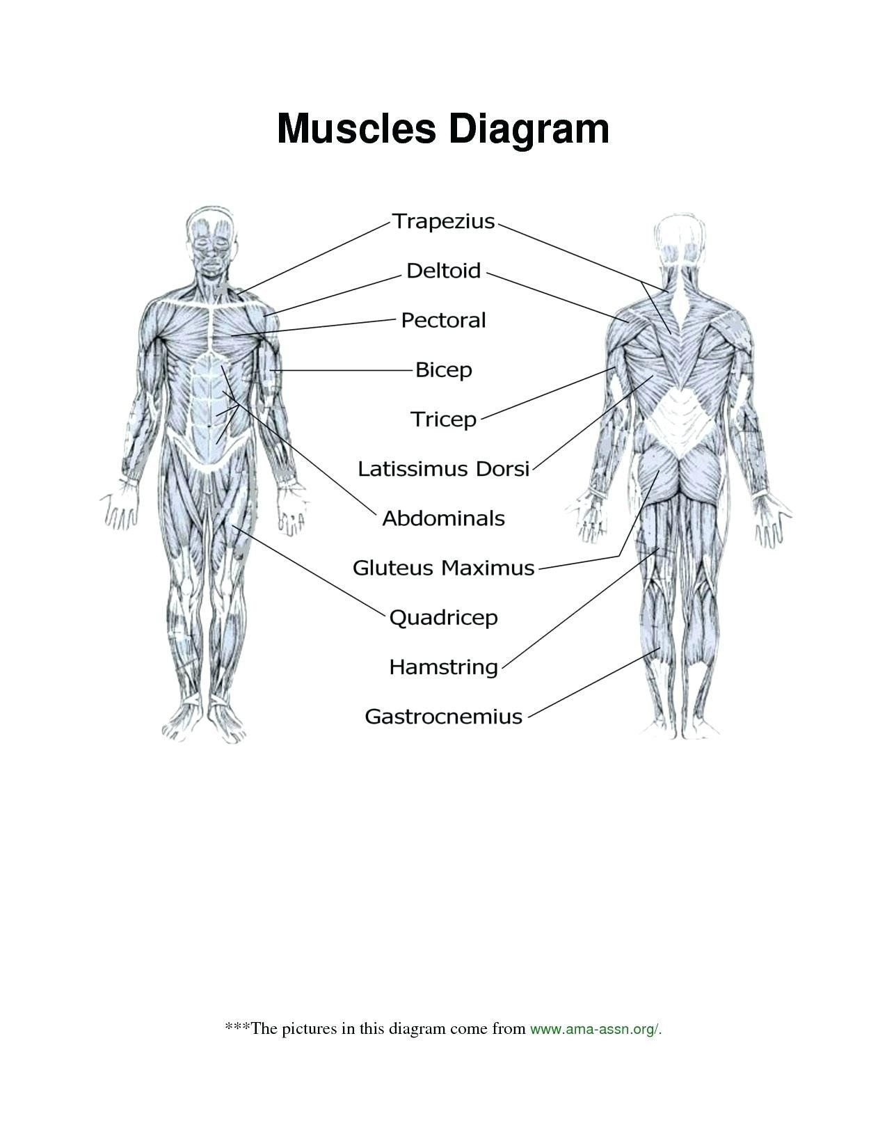20 Bones And Muscles Worksheet Free Worksheets In 2021 Human Body Muscles Skeletal System Worksheet Muscle Diagram