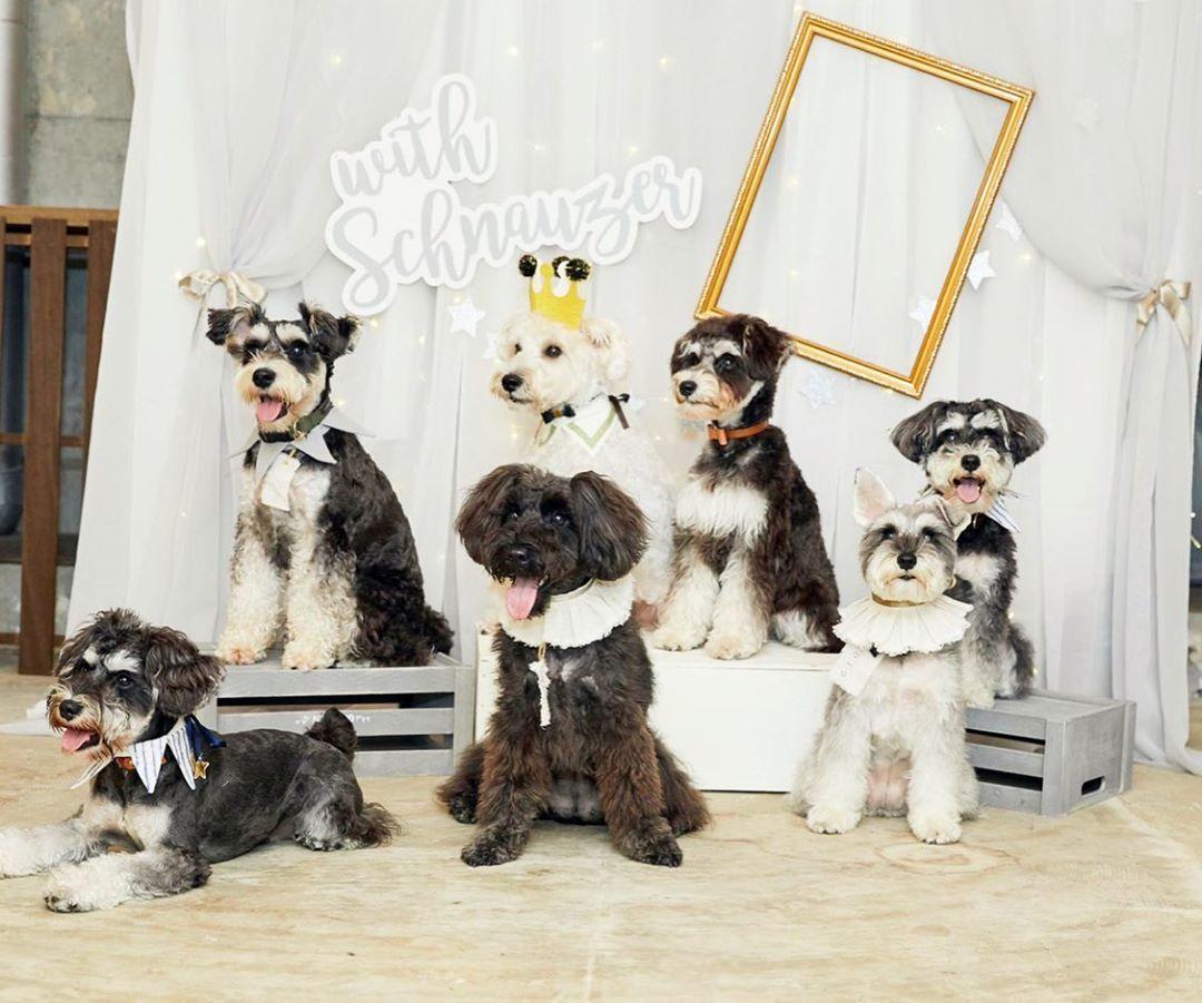 シュナのあつまる会 お誕生日会 ミニチュアシュナウザー シュナウザー 犬好きな人と繋がりたい 犬好きさんと繋がりたい Miniatureschnauzer Miniatureschnauzers Miniatureschnauzer Minischnauzer Schnauzer Mydog