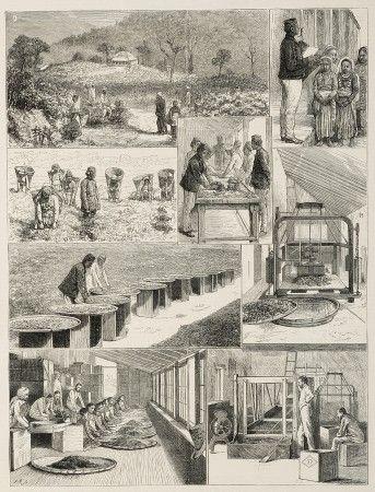Tea Cultivation in British India in 2020 | Antique maps ...