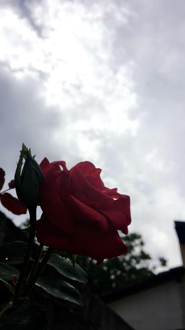 #rose #roses #nature #sky #clouds #flower #flowers #wallpaper #wallpapers #tumblr #beautiful #sad