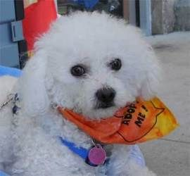 Adopt PIXY on (With images) Bichon poodle mix, Poodle