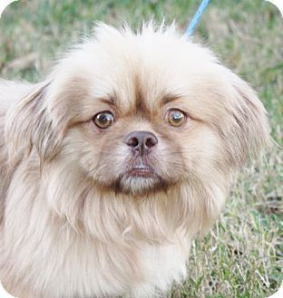 Pekingese Shih Tzu Mix Dog For Adoption In Stafford Texas