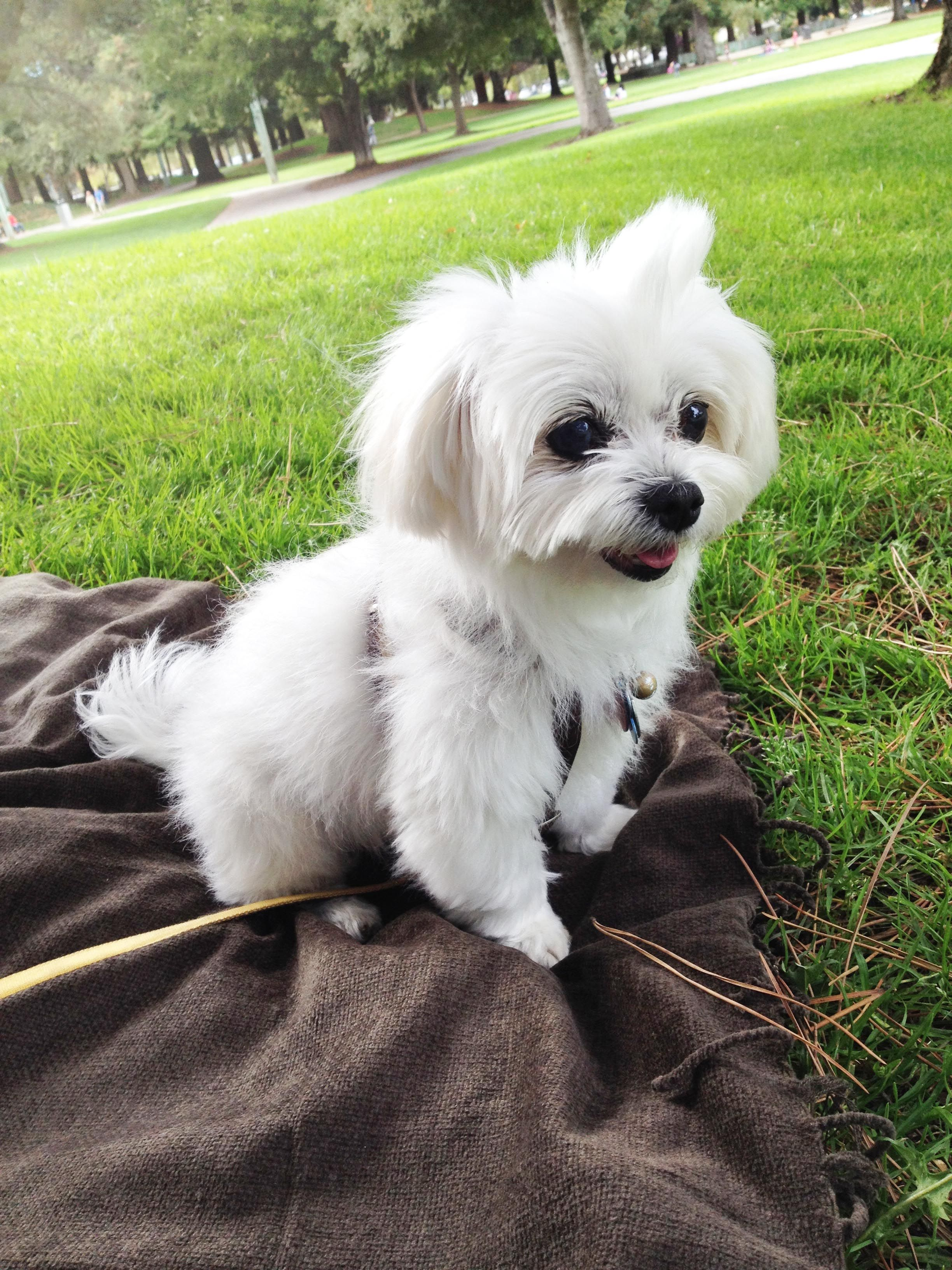 Summer Afternoon With Happy Cutest Maltese Dog Maltese