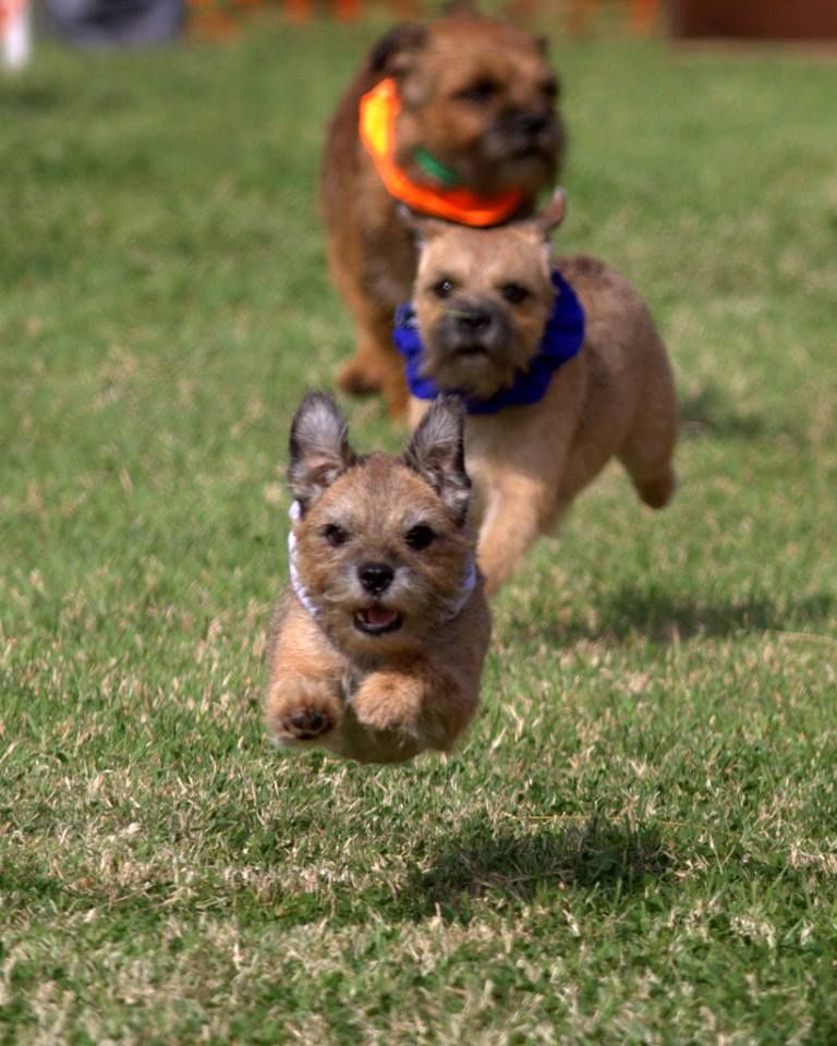 Terrier Racing At Borderfeast With Images Border Terrier Dog
