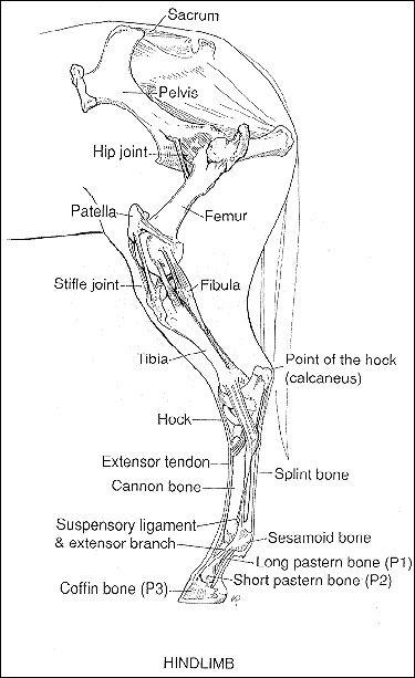 Leg anatomy | Horse info | Pinterest | Medicina veterinaria ...