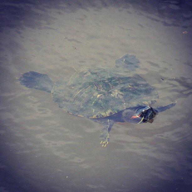 亀さんは少々汚い水でも気にしとらんようだ。  亀って泳ぐの早いよね。 - @kkharry- #webstagram