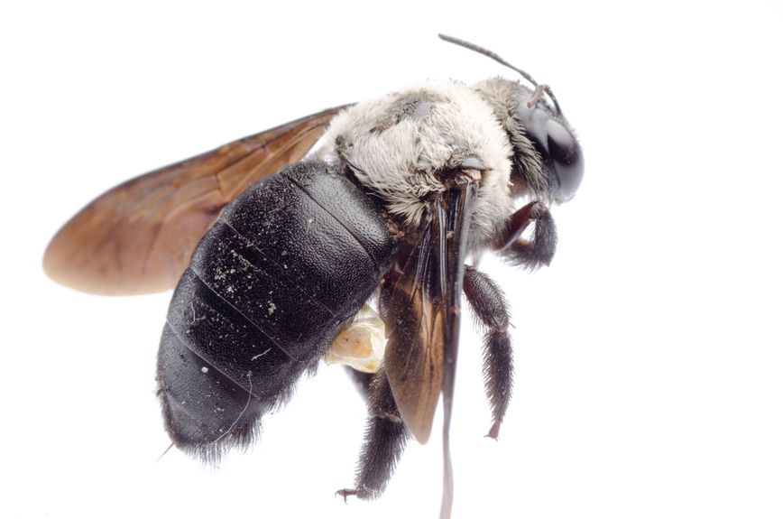 Are carpenter bees cozying up in your home this spring