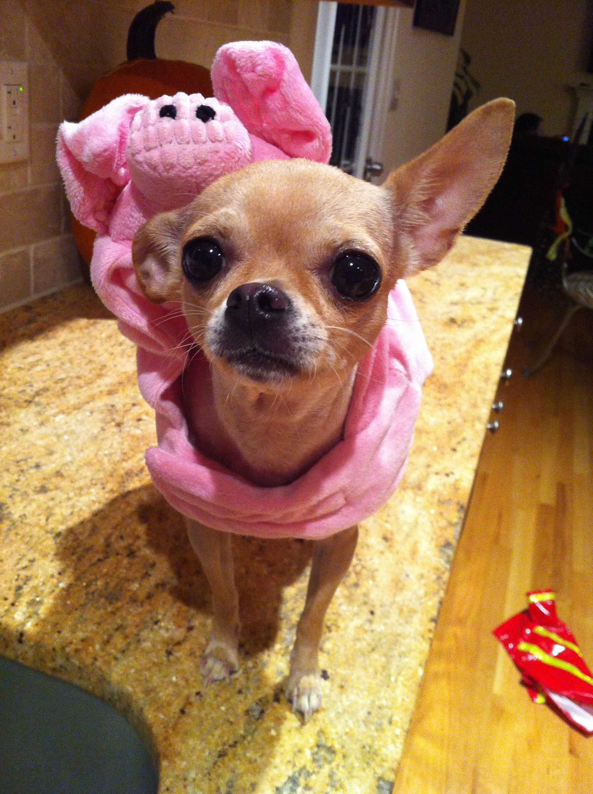 Pig costume chihuahua dog costume halloween pet costumes [peanut the 4 & Pig costume chihuahua dog costume halloween pet costumes [peanut ...