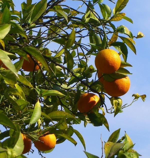 C mo plantar un naranjo jardiner a y siembra for Viveros de arboles frutales en concepcion