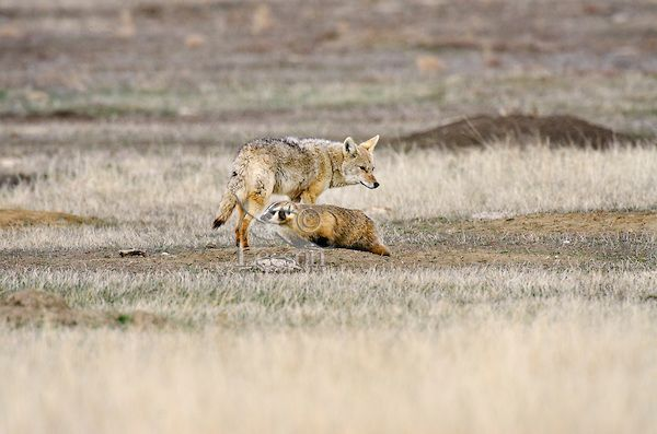 Coyote and American Badger cooperate in hunting Black-tailed Prairie Dogs