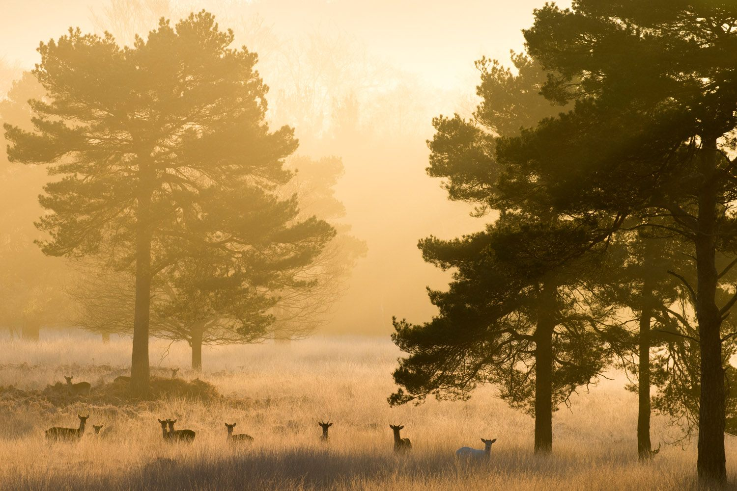 10 Fallow Deer And Scots Pines At Dawn Ashdown Forest Sussex Weald England Nature Photography Wildlife Photography Wildlife Pictures Dawn forest deer trees fog nature