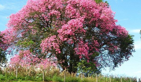 This Is One Of The World S Most Beautiful Trees When I Saw The Others My Jaw Dropped Sementes De Arvores Arvores E Arbustos Plantas Exoticas