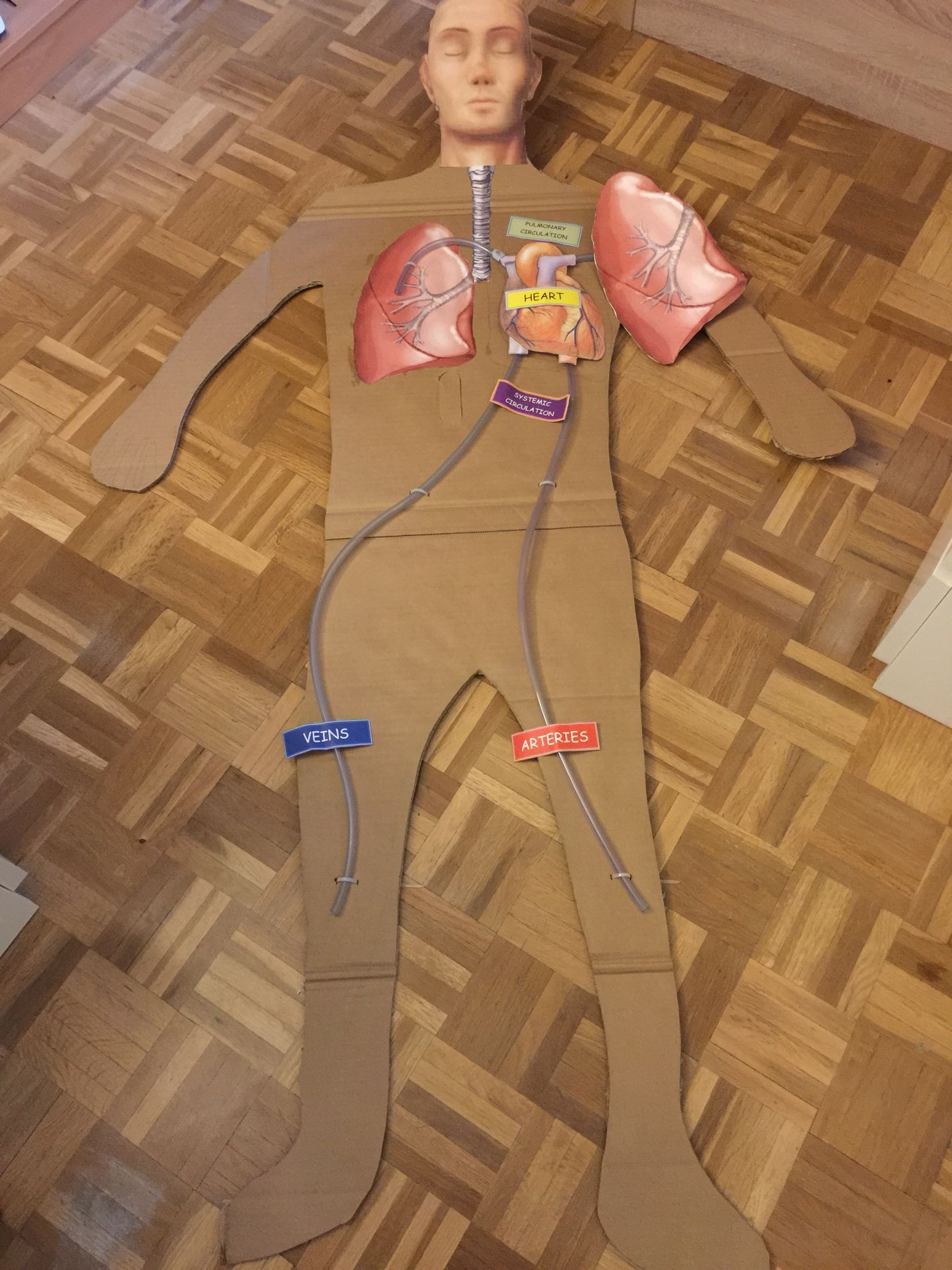 Model making to work the circulatory system, this is a good idea that the student understand the blood circulation.