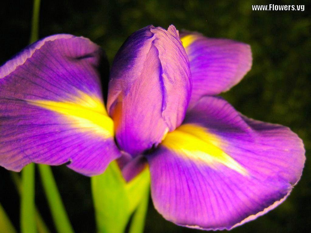 Iris flower free purple yellow iris flower pictures flower iris flower free purple yellow iris flower pictures izmirmasajfo