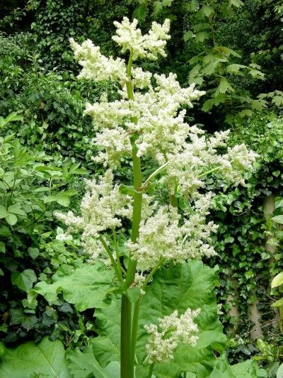 rhubarb flowers what to do when rhubarb goes to seed hierbas y sus beneficios rhubarb. Black Bedroom Furniture Sets. Home Design Ideas