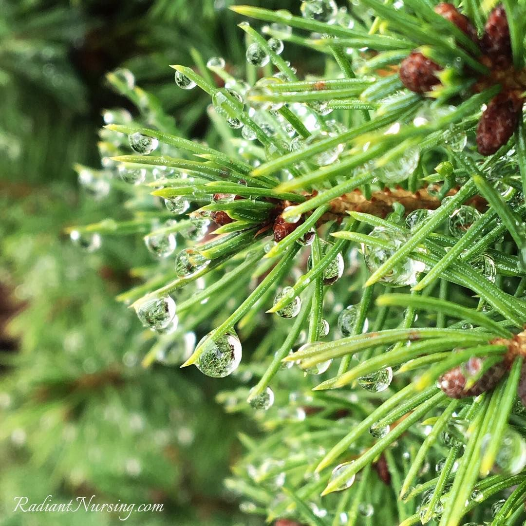The beauty of nature and water drops on the needles of a tree.