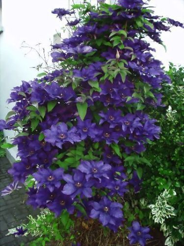 rare most beautiful unusual clematis clematis mr president. Black Bedroom Furniture Sets. Home Design Ideas