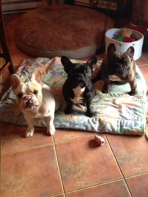 These are 3 of my 4 Frenchies. From left to right, Jax, Bella  Luka. Jax is 1 of Bella  Lukas pups, hes now 101/2 month old. I could have a houseful of these amazing dogs Oh wait I do! ;)  by Val