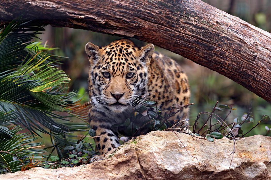 jaguar predator cat (With images) Wild cats, Jaguar