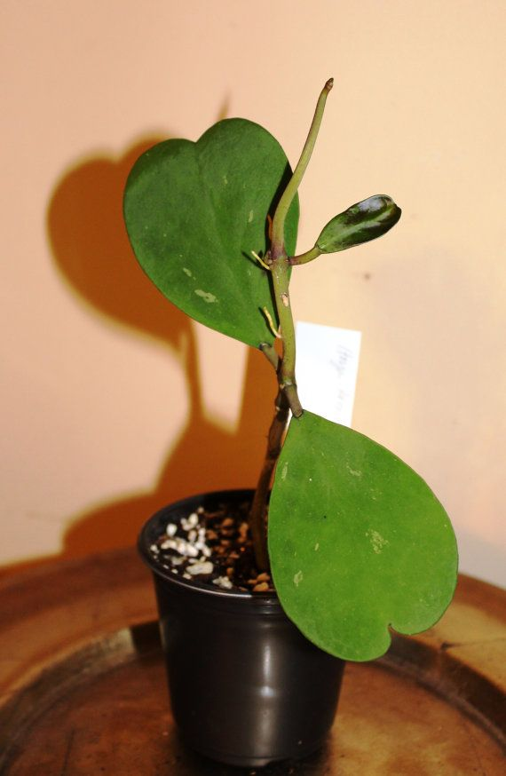 plante grasse hoya kerrii