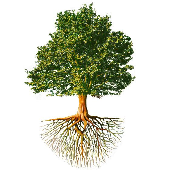 Дерево корней картинки