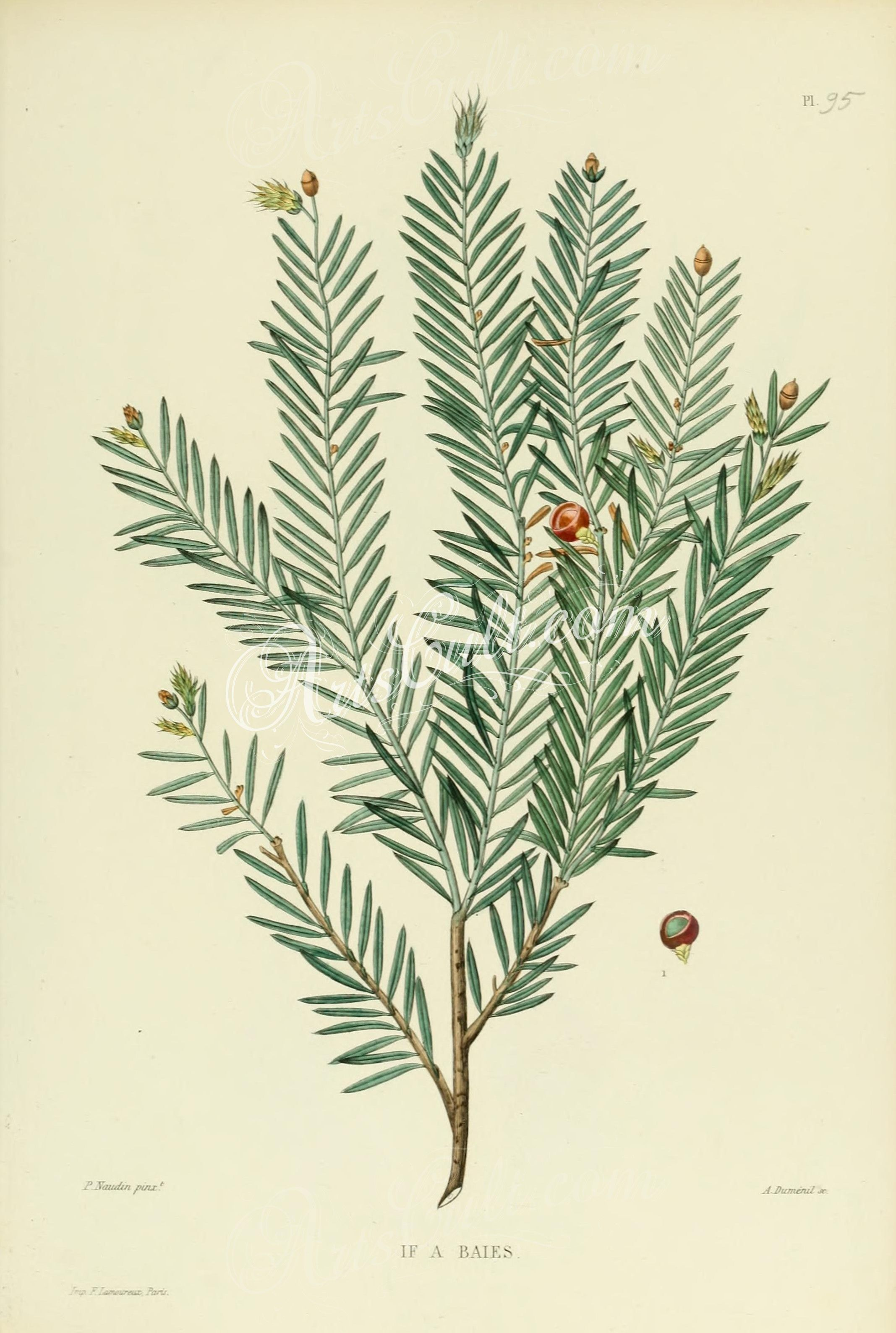 taxus baccata   ...