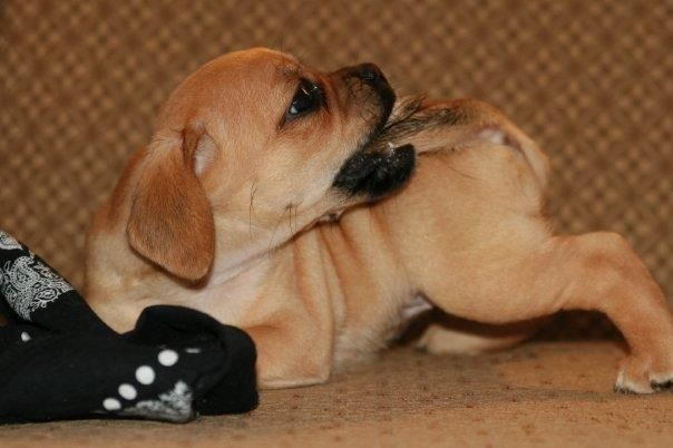 Puggle Puppy Mine Still Loves Chewing On His Tail Puggle