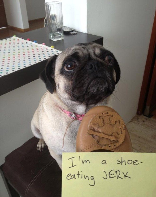 Sorry, Not Sorry: Guilty Pugs Being Shamed For Their Naughty Crimes