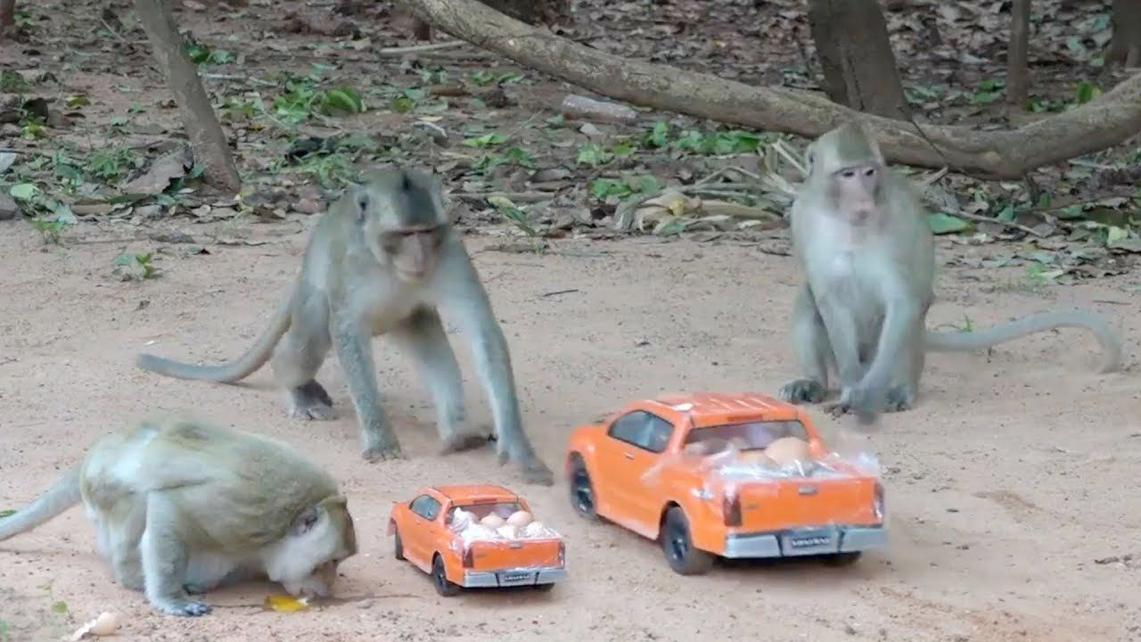 Awesome funny monkey videos - The intelligent monkeys stops RC car for eggsHow to make fun with monkeys - Everyday monkey funny YouTube videos from Cambodia : Today I am so happy with play with monkeys because bring the RC Tr... #animals #animalsfunny #animalsquotesfunny #awesome #cat #catsanddogs #cutefunnyanimals #dogcat #DOGS #dogsfunny #funny #funnyanimals #funnyanimalsmemes...