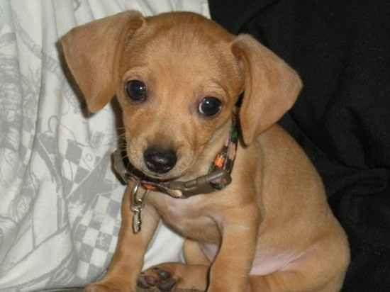 Name Lil Lily Lala Breed Chiweenie Gender Female Born 10 1