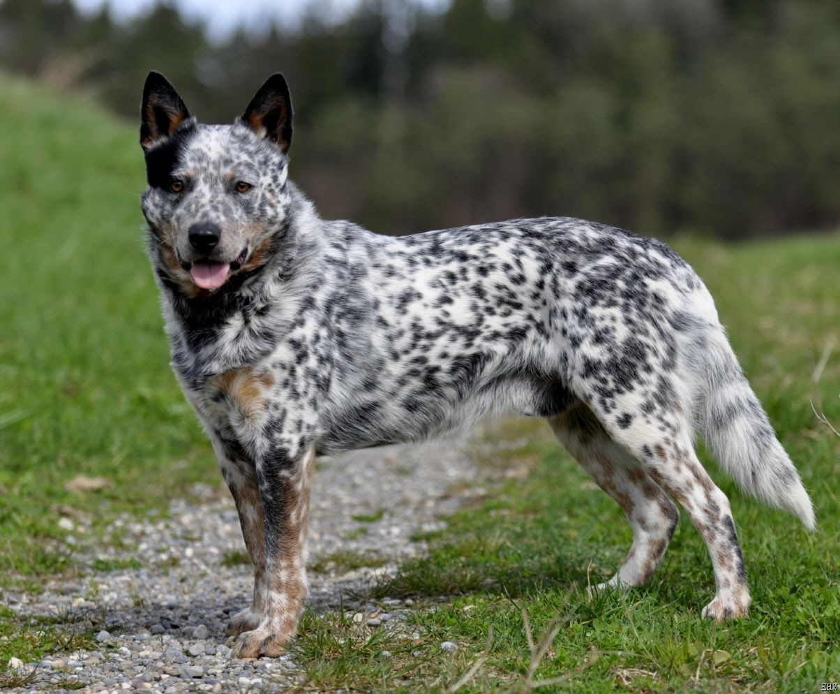 Australian Cattle Dog With Images Austrailian Cattle Dog