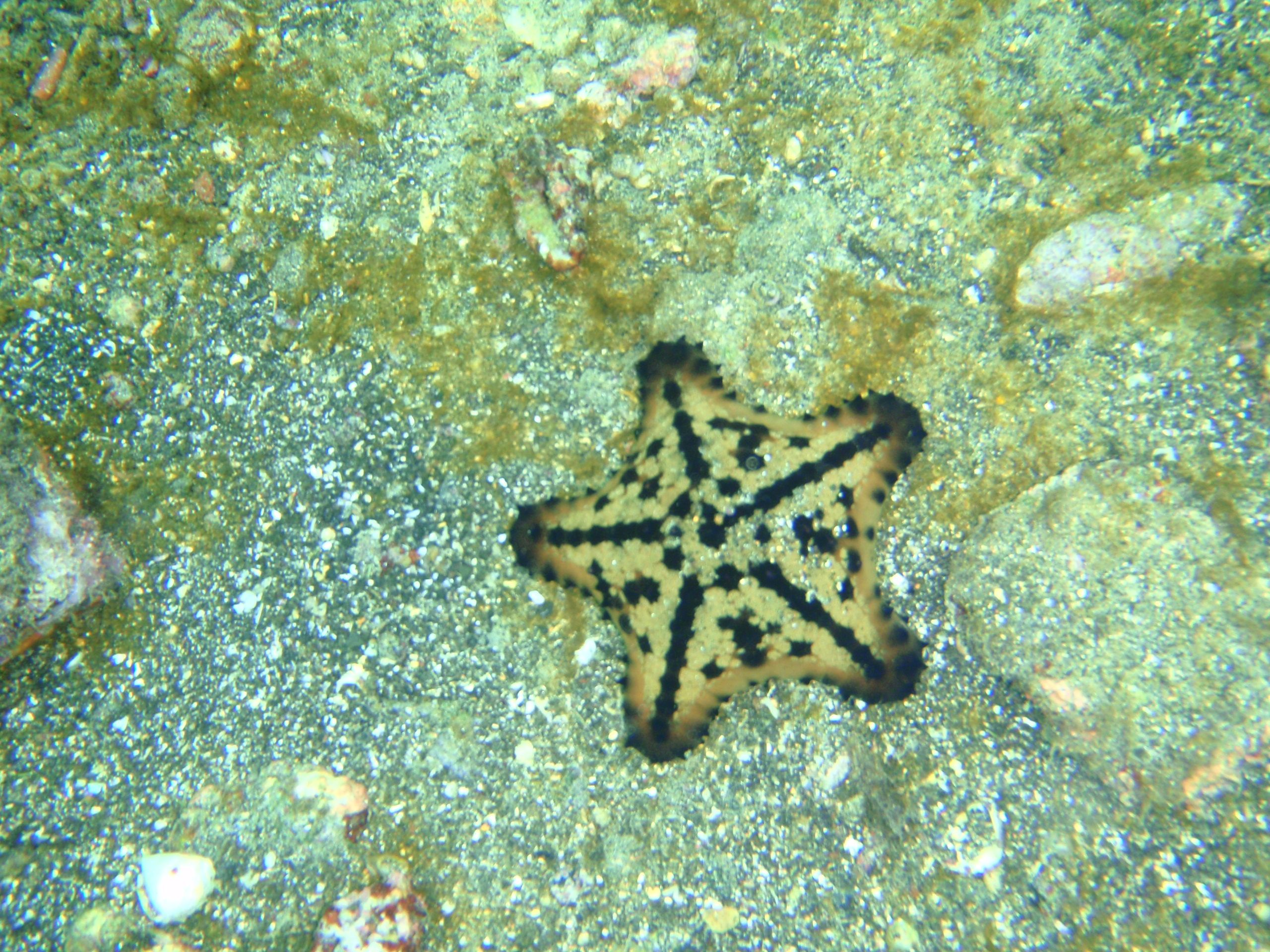 Chocolate Chip Starfish In The Galapagos Islands Chocolate Chip Starfish Galapagos Islands Galapagos