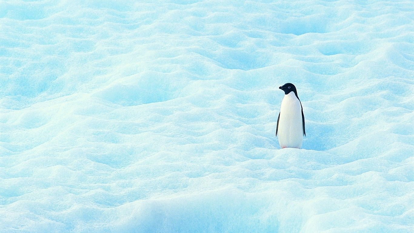 Penguin Wallpaper Hd With Perfection Penguin Wallpaper Smallest Penguin Macaroni Penguin