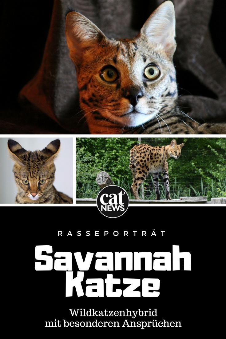 Die Savannah Katze Wildkatzenhybrid Mit Besonderen Anspruchen Savannah Katze Wilde Katzen Katzen