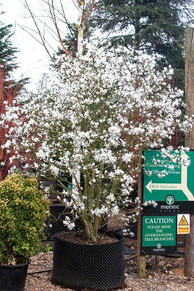 Magnolia Stellata Star Magnolia Tree Shrub Majestic Trees