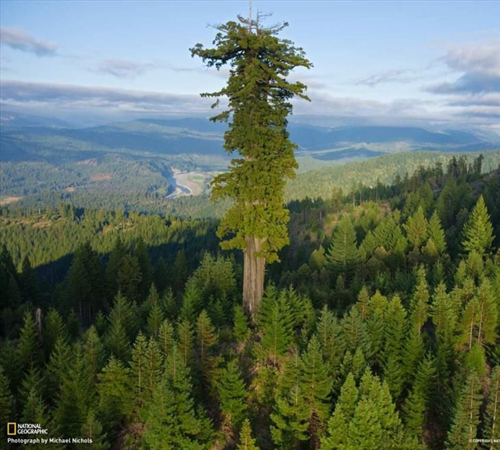 At 379 ft, a giant sequoia named Hyperion is the tallest tree in ...