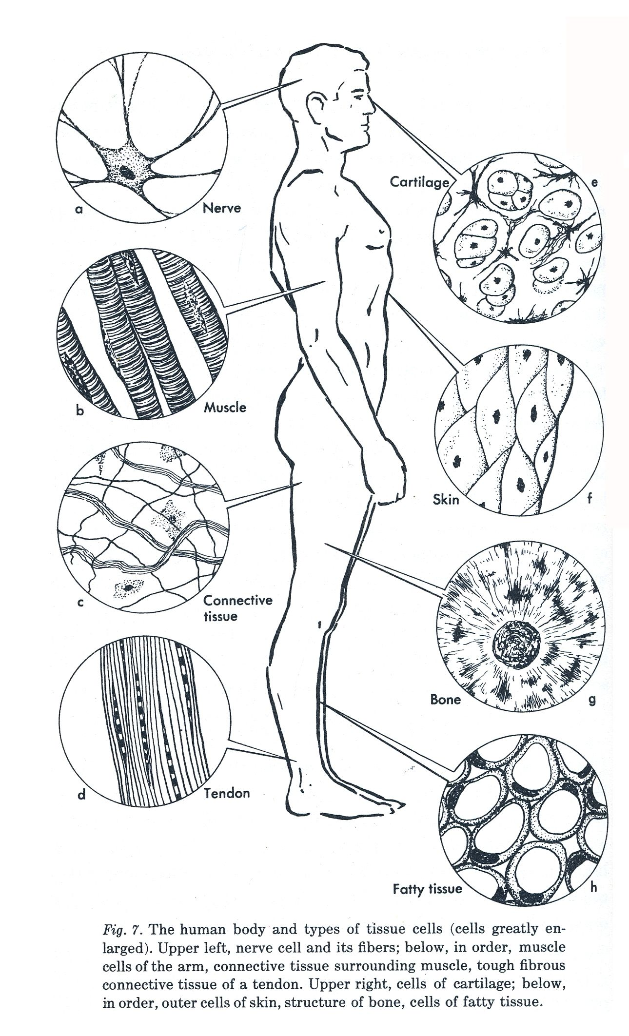 4 types of tissue with coloring page type graphic – Connective Tissue Worksheet