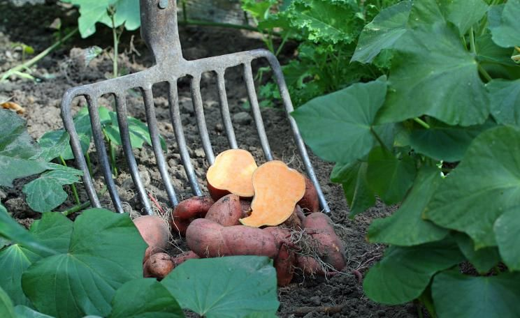 Süßkartoffel Ernte