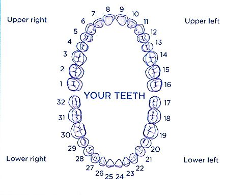 Numerical Identification Of Your Teeth Adults Only Learning