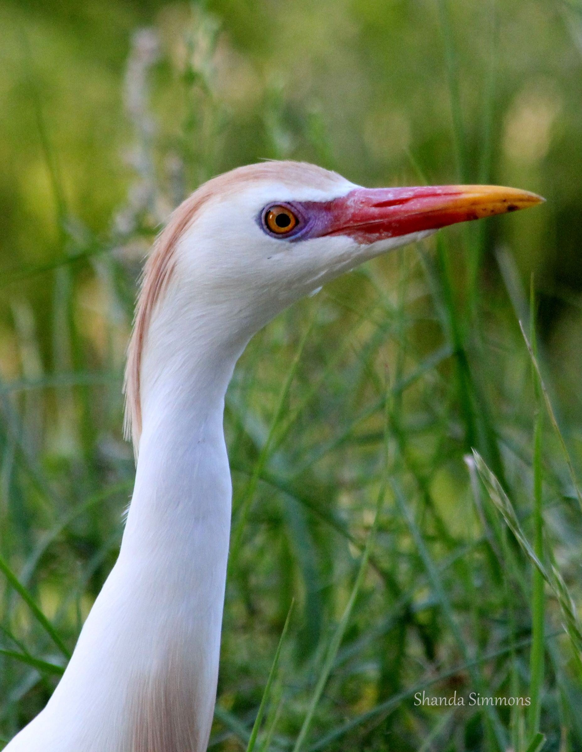 young cattle egret