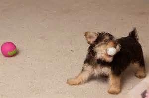 Newborn Yorkie Poo Puppies Yorkiepoo Pictures Facts And User Yorkie Poo Yorkie Poo Puppies Cat Quotes Funny