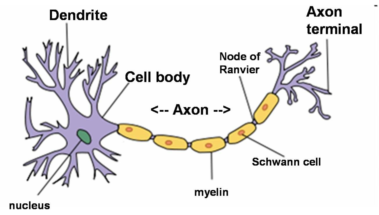 simple neuron diagram. | school | pinterest | neurons, neuron