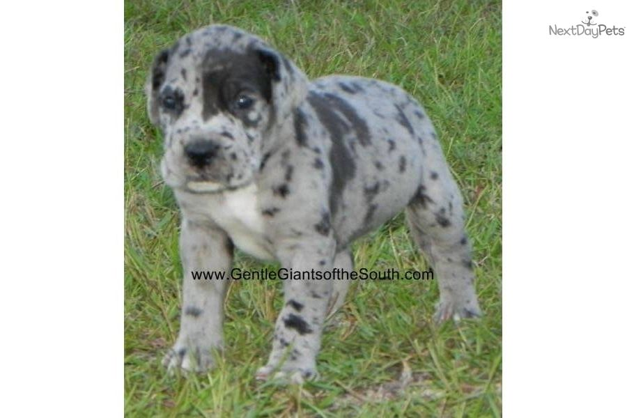Merle Male Great Dane Puppies Great Dane Puppy For Sale For