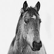 Photograph, Montana Horse 2, From Mammothandcompany