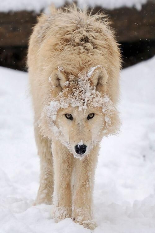 Twitter, Young Wolf in the snow pic.twitter.com/98VjfLw3of